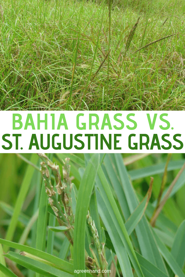 Bahia Grass Vs St Augustine Grass Bahia Grass Grass Care Bahia Grass Lawn