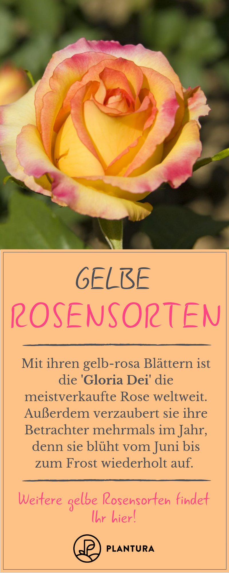 Gelbe Rosen Die 10 Schonsten Sorten Plantura Rosensorten Rosen Pflegen Rosen Pflanzen