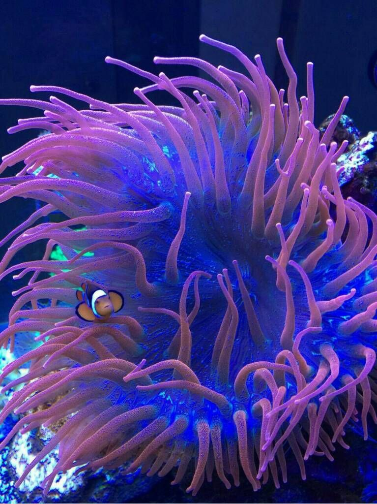 Pink Bubble Tip Anemone Sell Off Pasar Malam Shop Singapore Reef Club Sgreefclub In 2020 Sea Flowers Coral Reef Photography Anemone