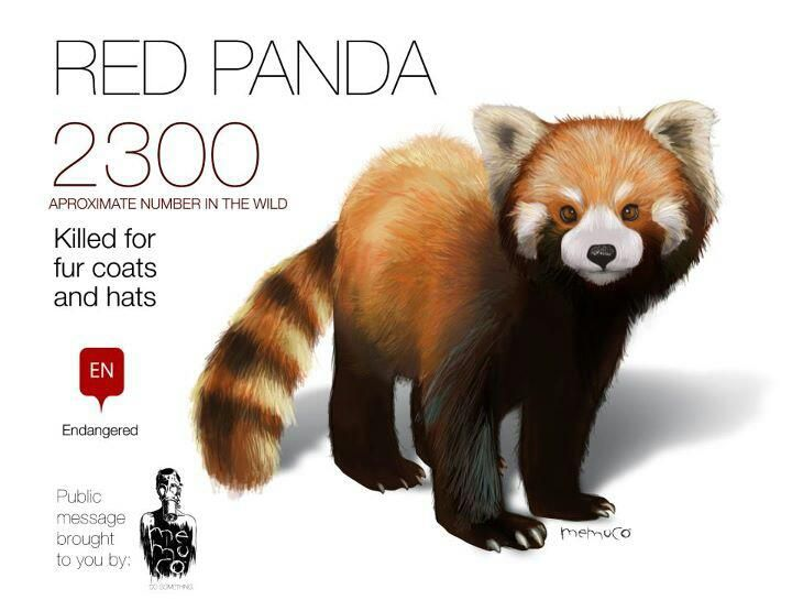 Image of: Zoo Picture Is Worth 1000 Words Red Panda Pinterest Picture Is Worth 1000 Words Red Panda Zoo Endangered Species