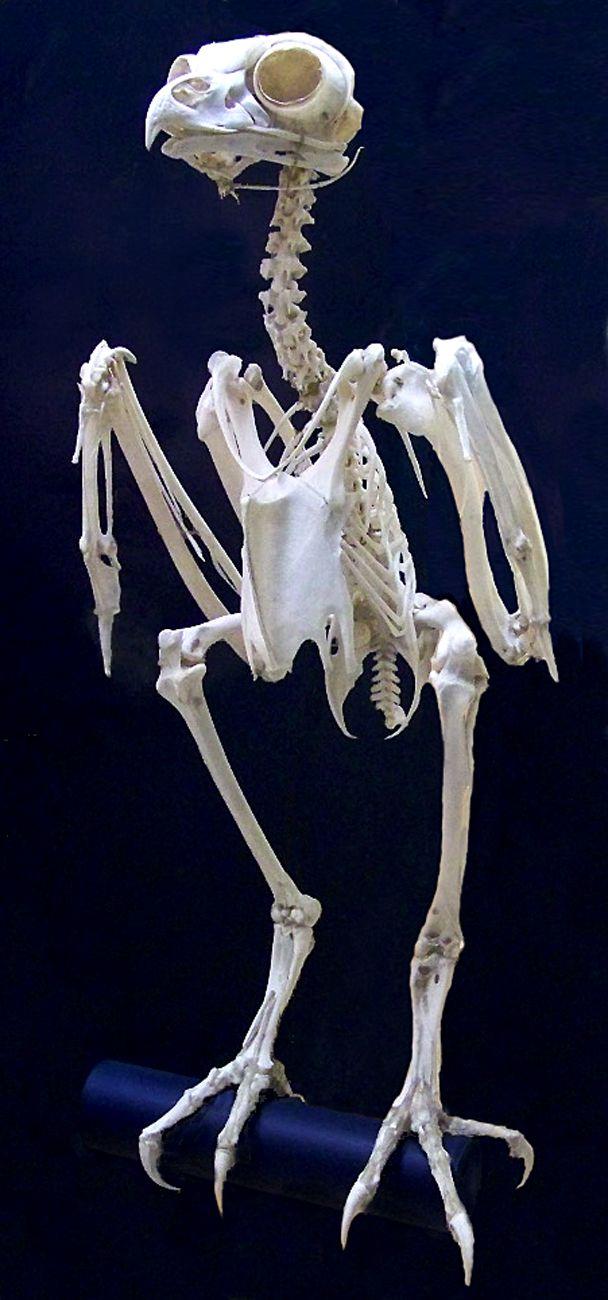 Barn Owl Skeleton I Was Always So Interested In How