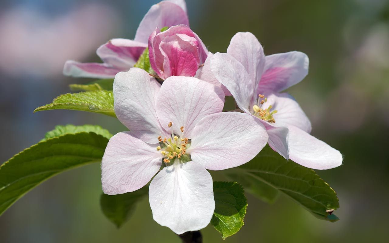 Apple blossoms pictures google search botanical pinterest