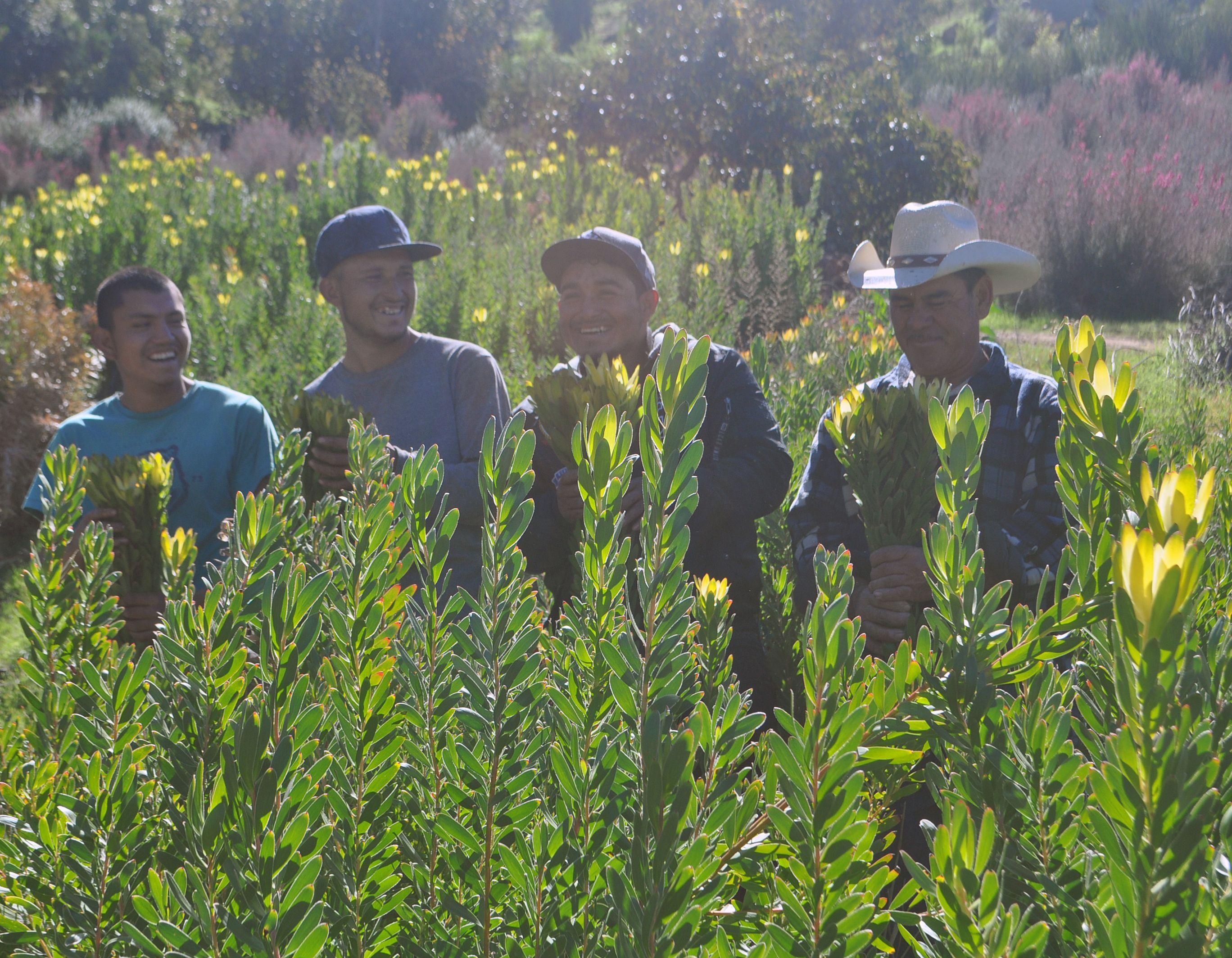 Harvesting Leucadendron Gold Strike. Floral industry