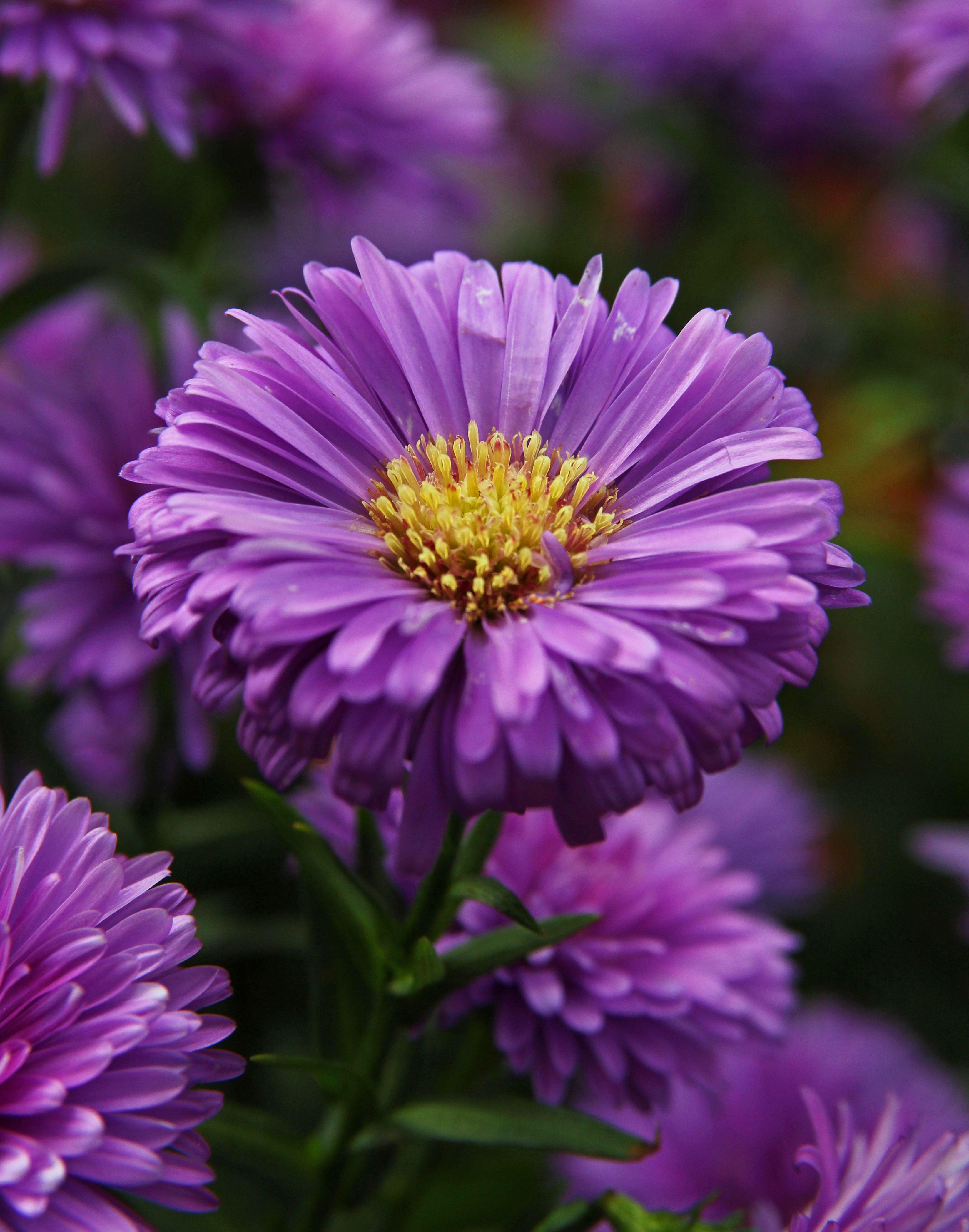 Purple Aster Flowers In 2020 Aster Flower September Birth Flower Birth Flowers