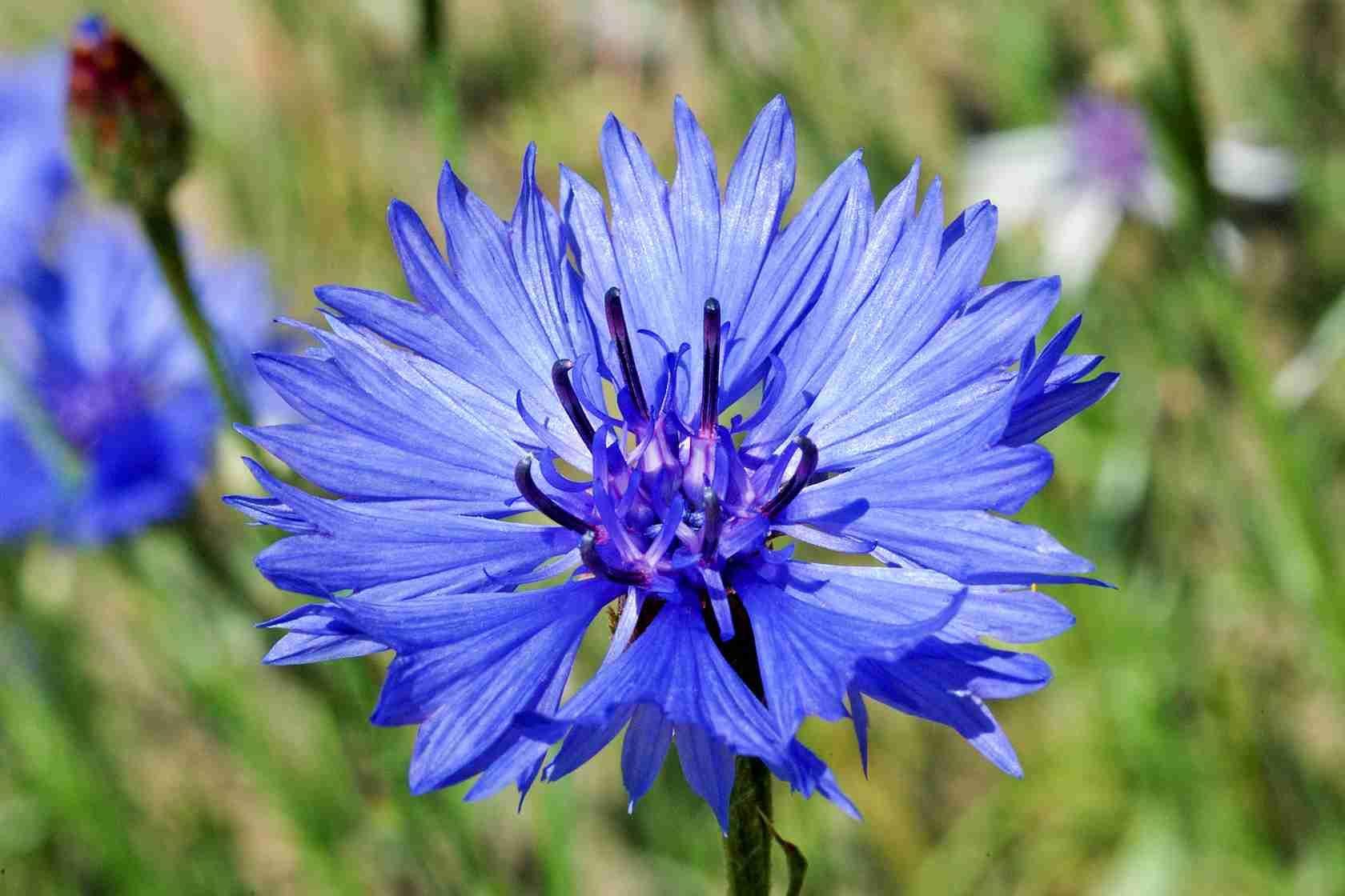 Cornflower Centaurea cyanus British wild flowers