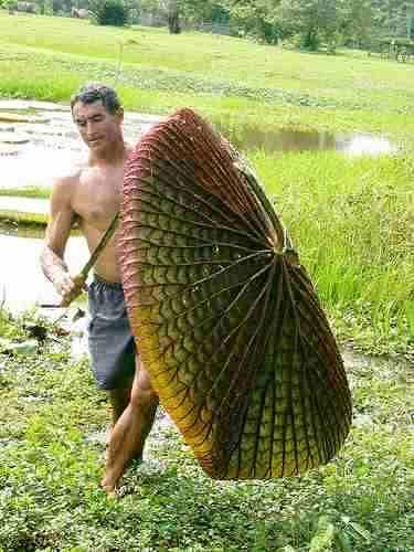 Resultado de imagen para paxton victoria amazonica