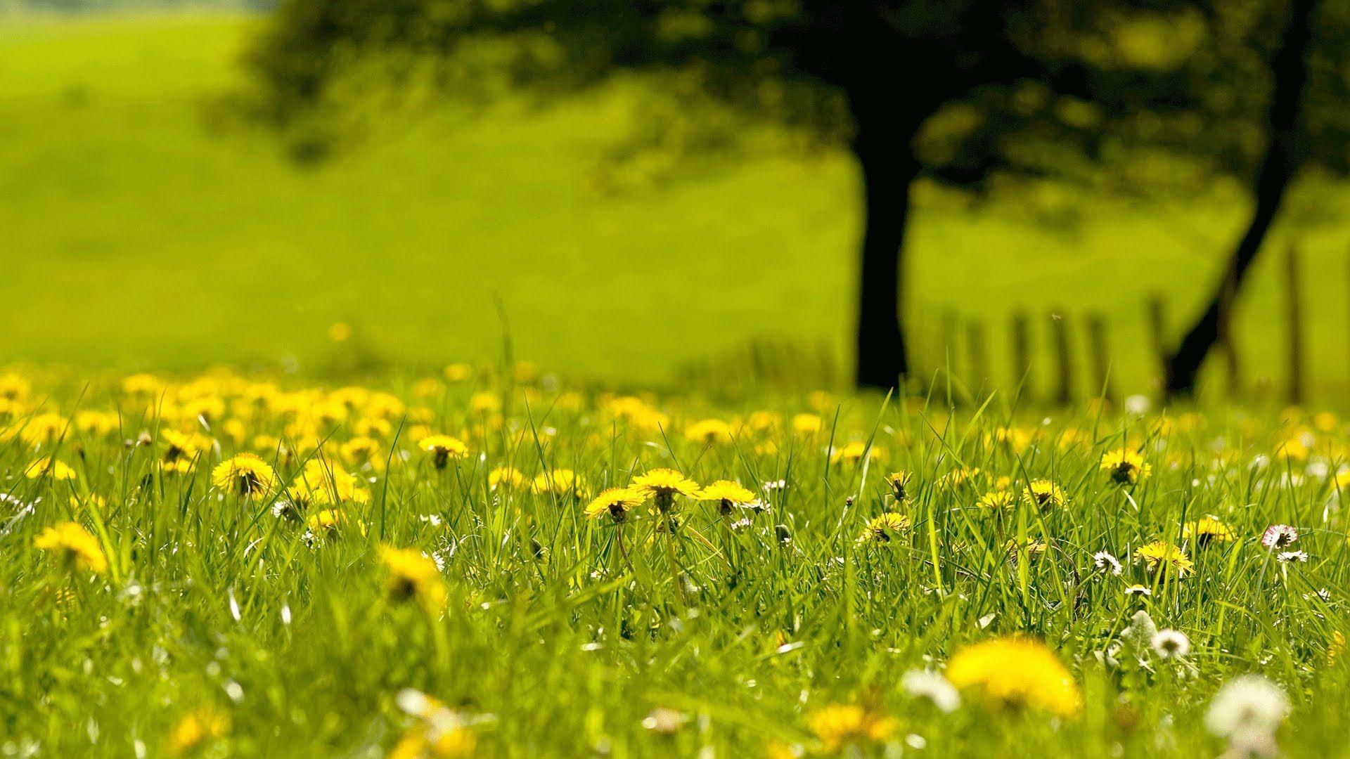 Light Background Guitar Music Study Think Yoga Meditation Field Wallpaper Nature Dandelion Wallpaper
