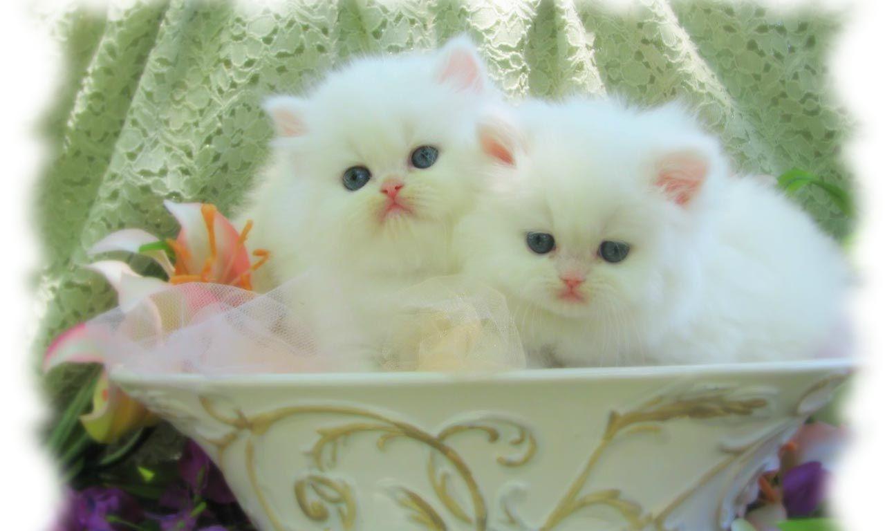 White Cat Wallpaper 554450 Kittens Cutest Cute Cats And Kittens Cats And Kittens