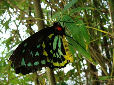 queen alexandra birdwing  butterfly species queen