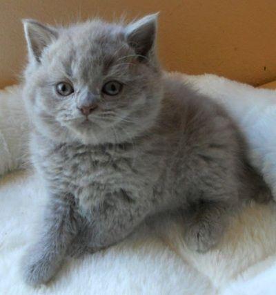 British Blue Kittens Available For Sale In California Selkirk Rex British Shorthair Kittens British Shorthair