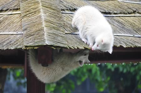 An albino Racoon Conversation Photo by Karin K. — National Geographic Your Shot