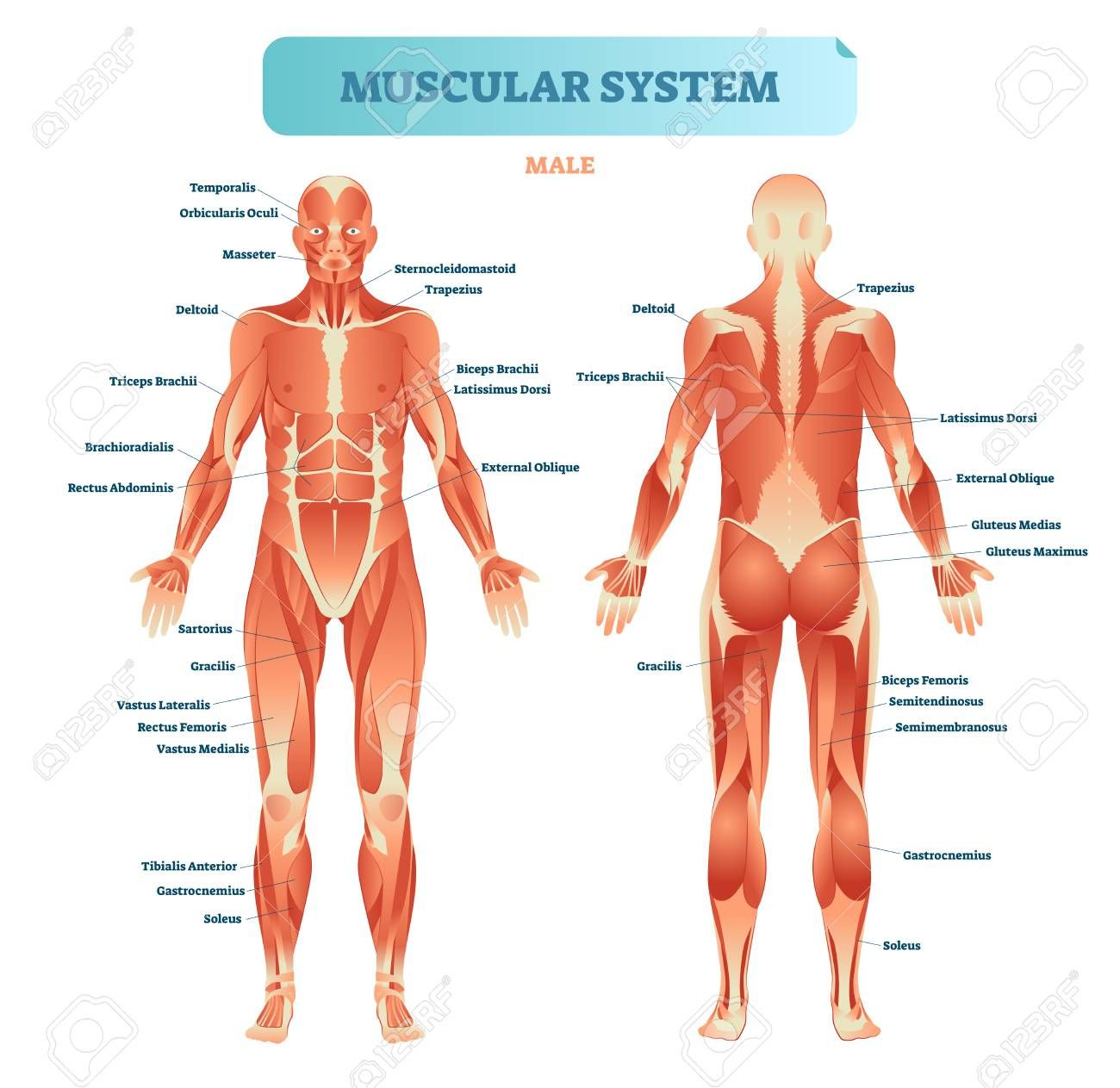 A Diagram Of The Muscular System Human Anatomy Pictures