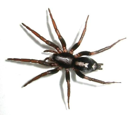 The Spider Species Herpyllus Ecclesiasticus Is Commonly Called The