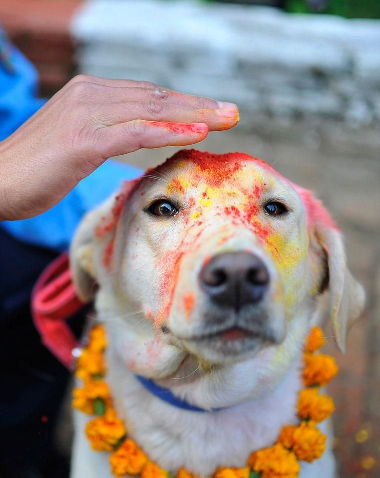 Man S Best Friend Honored And Decorated In Nepal Celebration Dog
