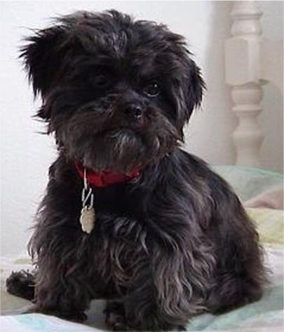 Affenpinschers Are Known For Being Rascals Their Impish Behavior Keeps Their Owners Amused Affenpinscher Puppy Affenpinscher Dog Toy Dog Breeds