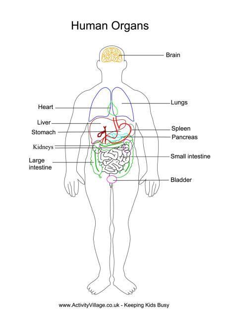 Human organs printables human body pinterest human organs printables ccuart Images