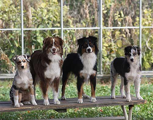 The Aussie Weekly Australian Shepherd Aussie Dogs Australian