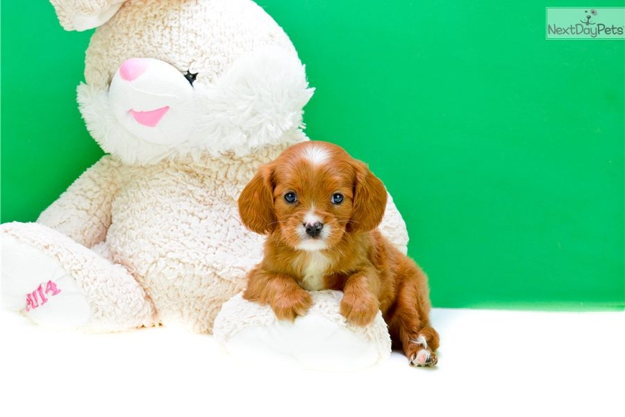 Cavapoo Puppy For Sale Near Columbus Ohio Bead0460 0421 With