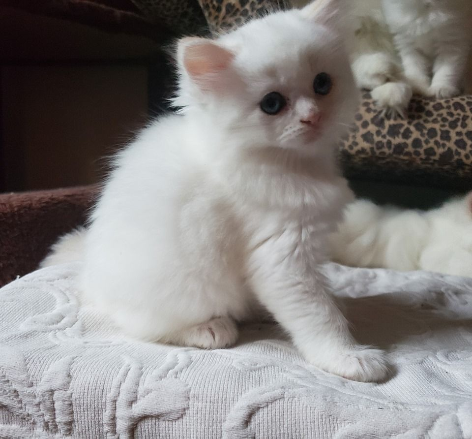 Siamese Kittens For Sale Price In India Mr N Mrs Pet In 2020 Cat Breeds Siamese Kittens Cat Breeds Siamese