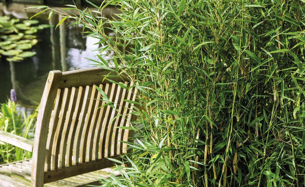 Bambus richtig düngen Bambus sichtschutz, Bambus, Bambus