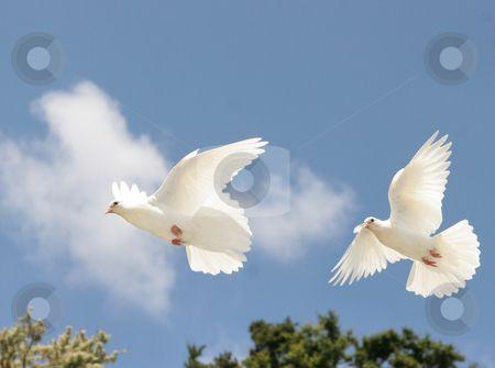 Picsofdovesinflight White Doves In Flight Stock Photo Two