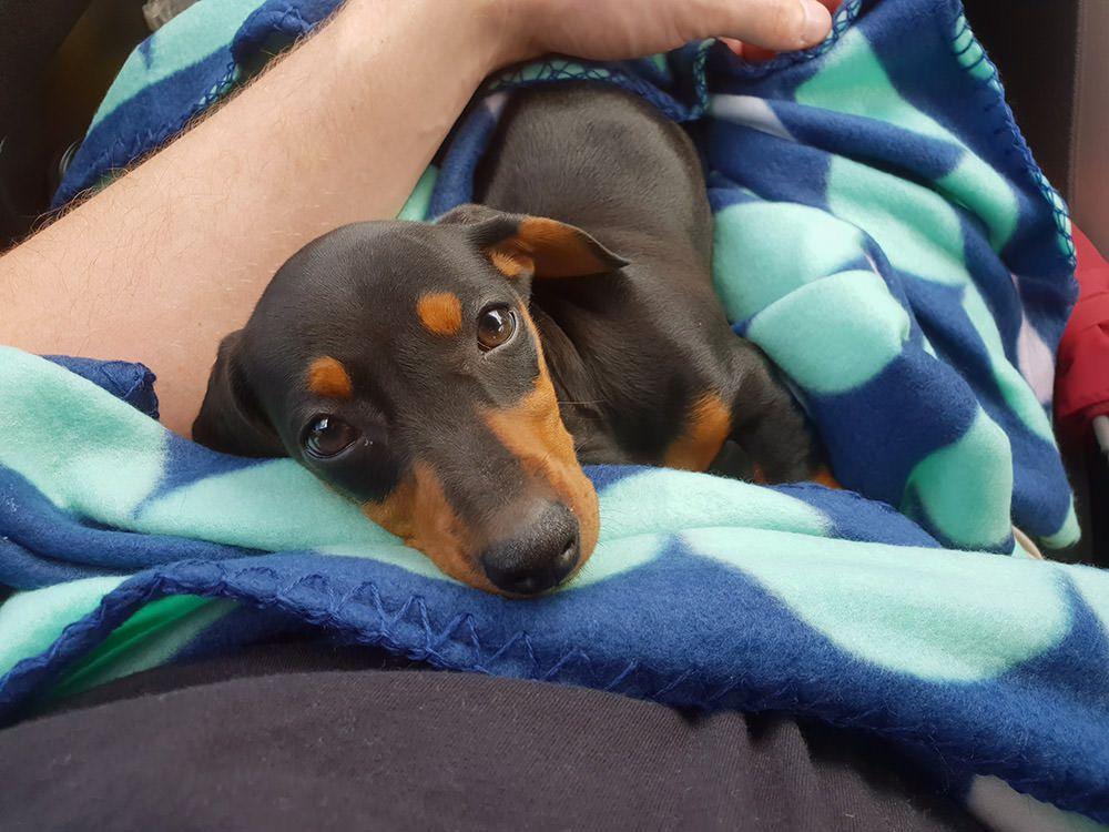 Dachshund puppy by Nancy LaGuardia on Doxie Dachshund