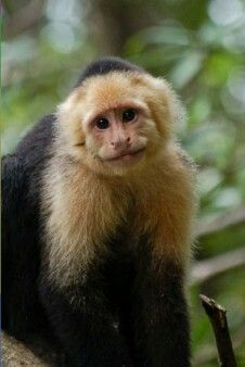 It's a Capuchin Monkey!!! Isn't he adorable? I really want one when I'm older.