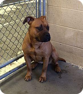 Greensburg Pa Bullmastiff Mix Meet Myla A Puppy For Adoption