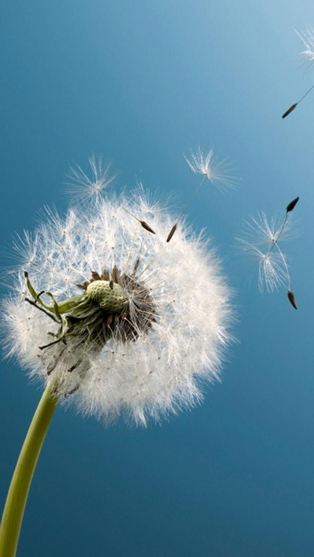 Dandelion In The Wind With Images Iphone Wallpaper Tumblr