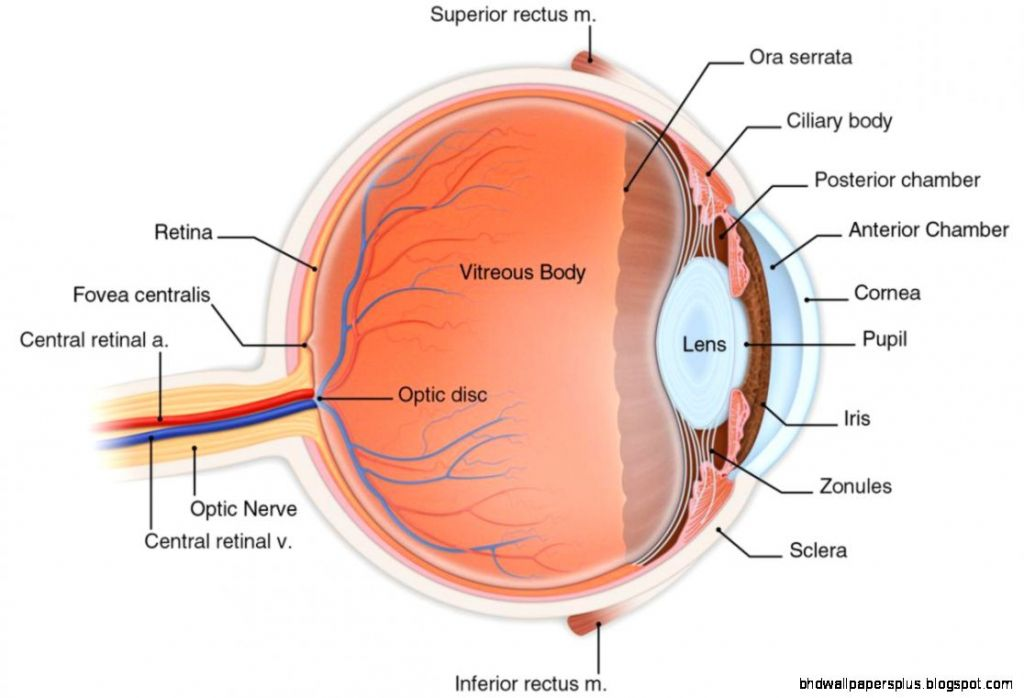 eye model gedynwvhahplslslfgokcbbihrrhyfw eye anatomy model labeled ...