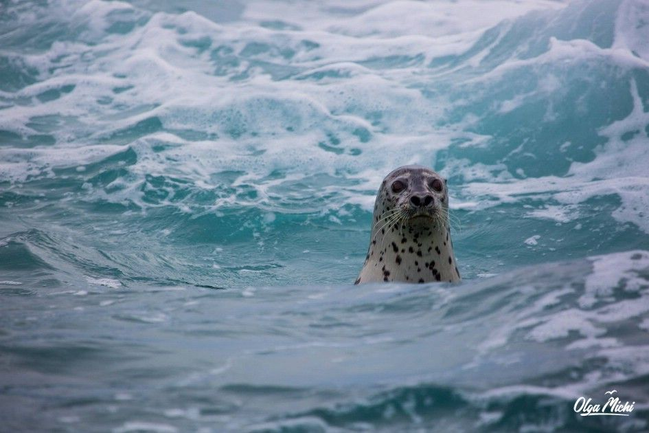 Far eastern seal or Larga (Phoca largha).