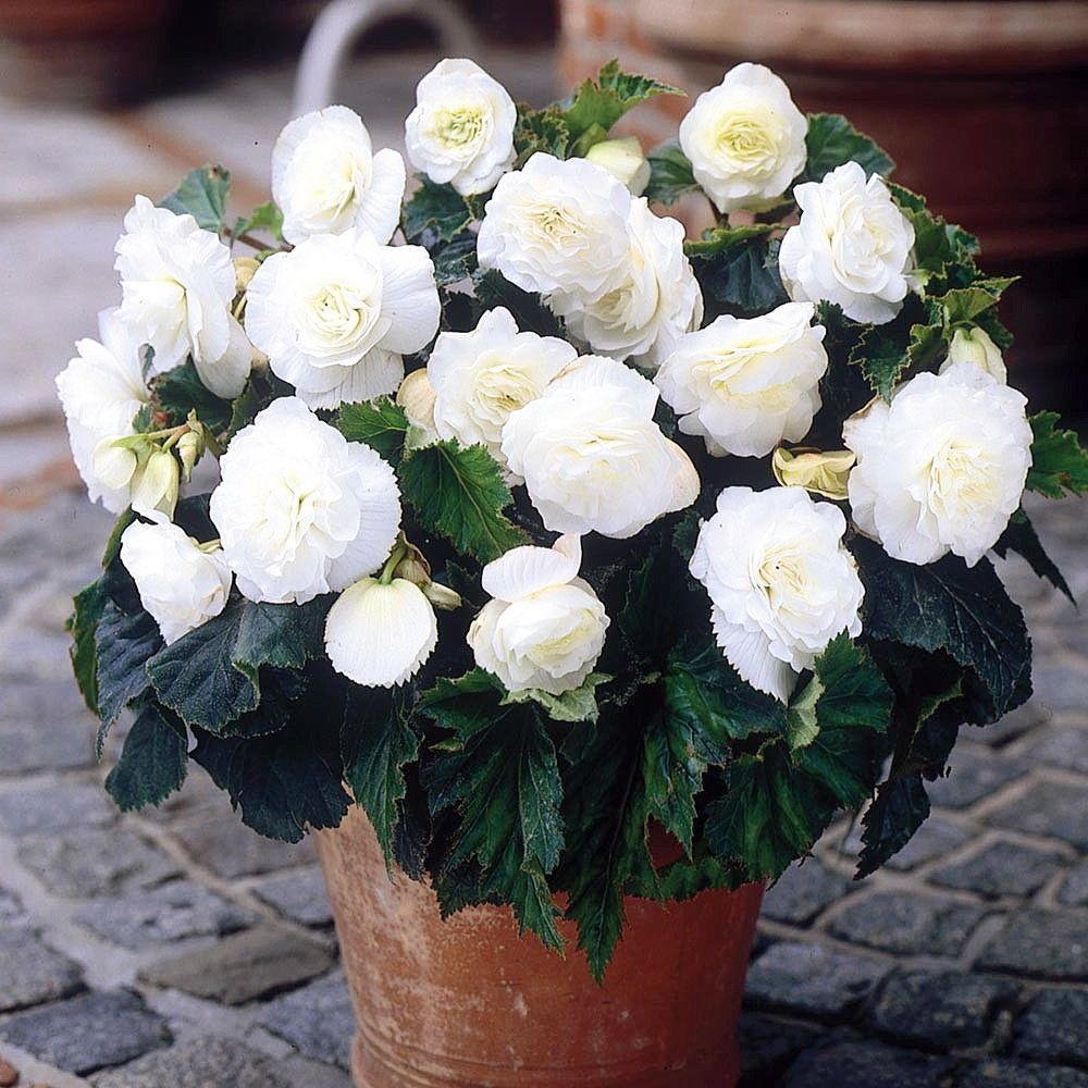 Fragrant Double White Begonia Odorosa 2 Bulbs The First Truly Fragrant Begonia Hirt S Gardens Begonia Garden Bulbs Flower Pots