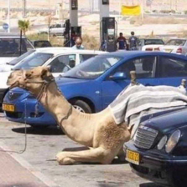 Image result for CAR camels dubai