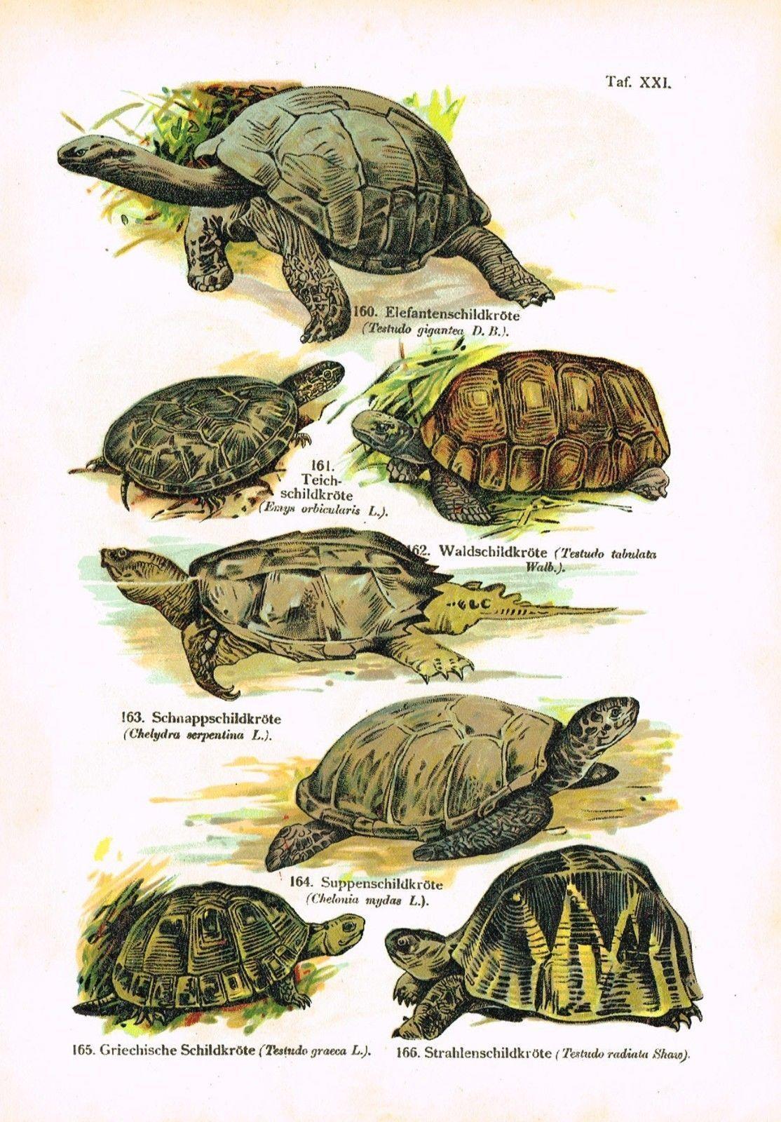 Berühmt Anatomie Der Schildkröte Zeitgenössisch - Anatomie Von ...