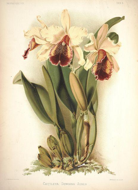 Cattleya dowiana   Orquídeas