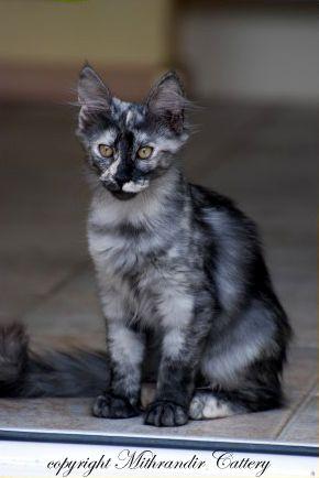 Turkish Angora Black Tortie Smoke Jpg 290 434 Angora Cats Turkish Angora Cat Tabby Cat