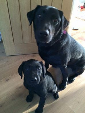 Pin By Yash On Animals And Pets Labrador Retriever Black