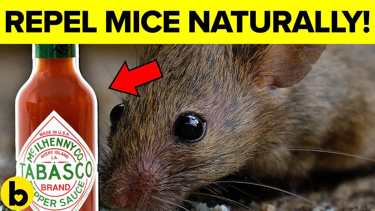 7 Ways To Get Rid Of Mice Permanently And Naturally Youtube Getting Rid Of Mice Getting Rid Of Rats Natural Rodent Repellant
