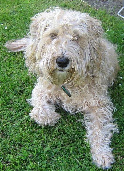 Welsh Terrier Malteser Terrier Mix Terrier Mix Breeds Maltese Dogs