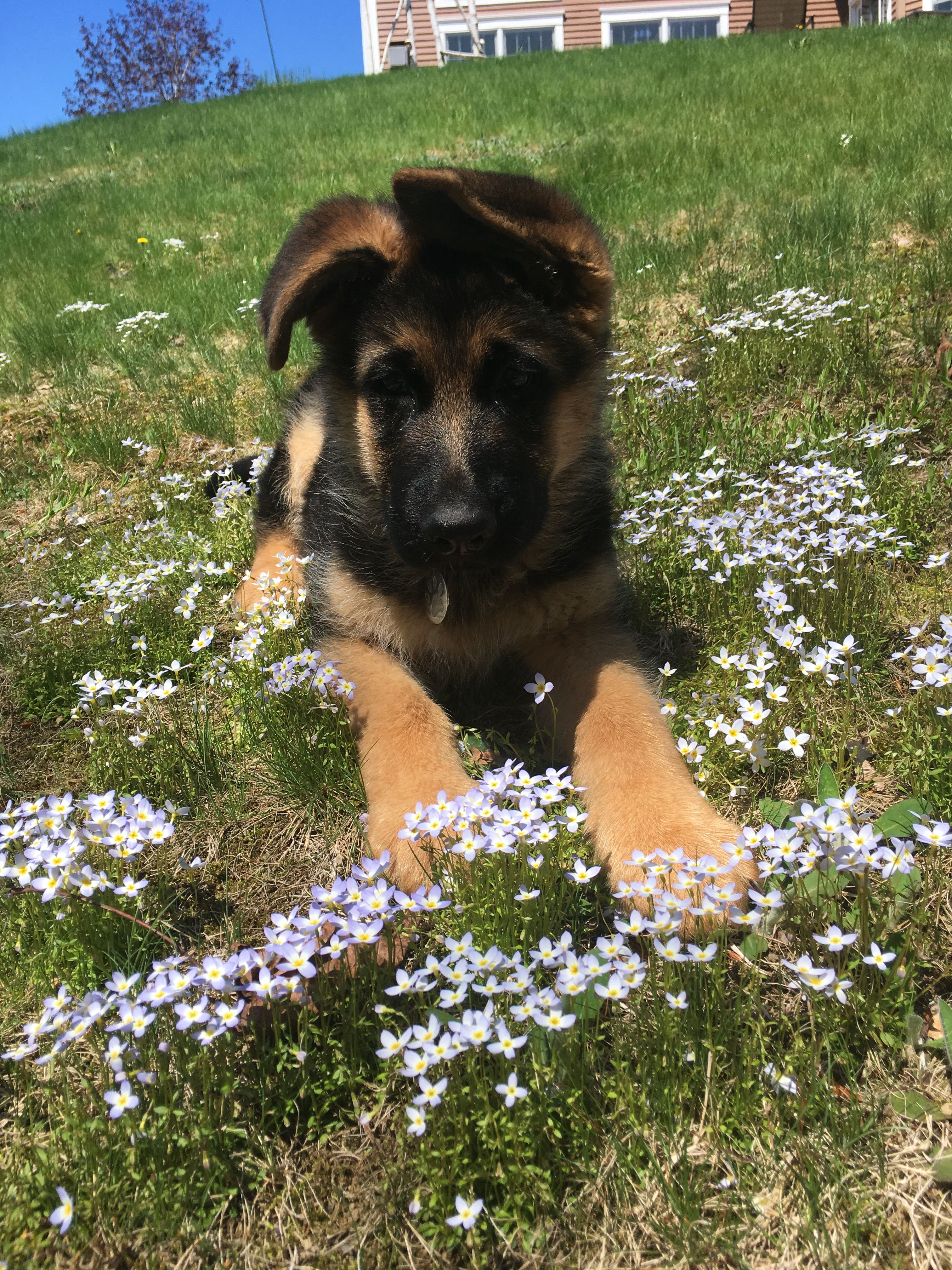 German Shepherd Puppy In Flowers With Images German Shepherd