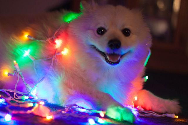 Beginning to look a lot like Christmas! by TaniaGail, via Flickr  -- Daughter wants this dog