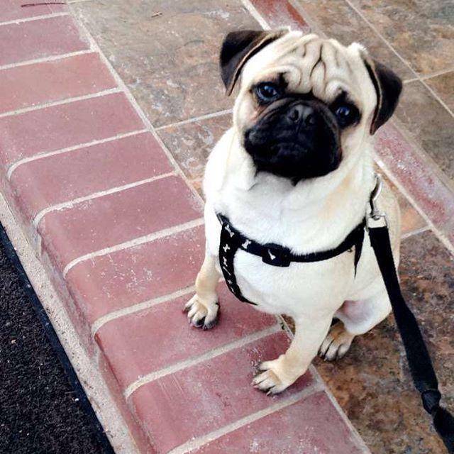 Hi Everyone Max Pugs Pugs Pug Obsessed