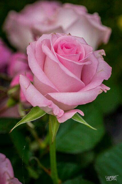 Simplesmente rosa