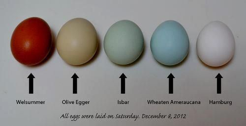 what chicken lays olive green eggs
