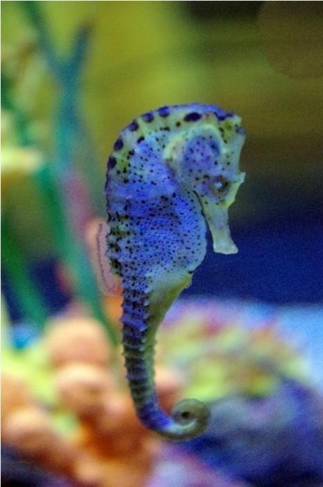 Magnificent Ultraviolet Seahorse Sea Horses Pinterest Ocean Creatures Sea Animals Beautiful Sea Creatures