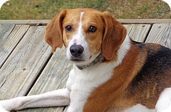 Bella | Adopted Dog | Bedford, VA | Foxhound/Beagle Mix ...