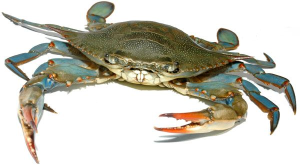 Delaware Blue Crab | Photography | Pinterest | Creatures and Animal