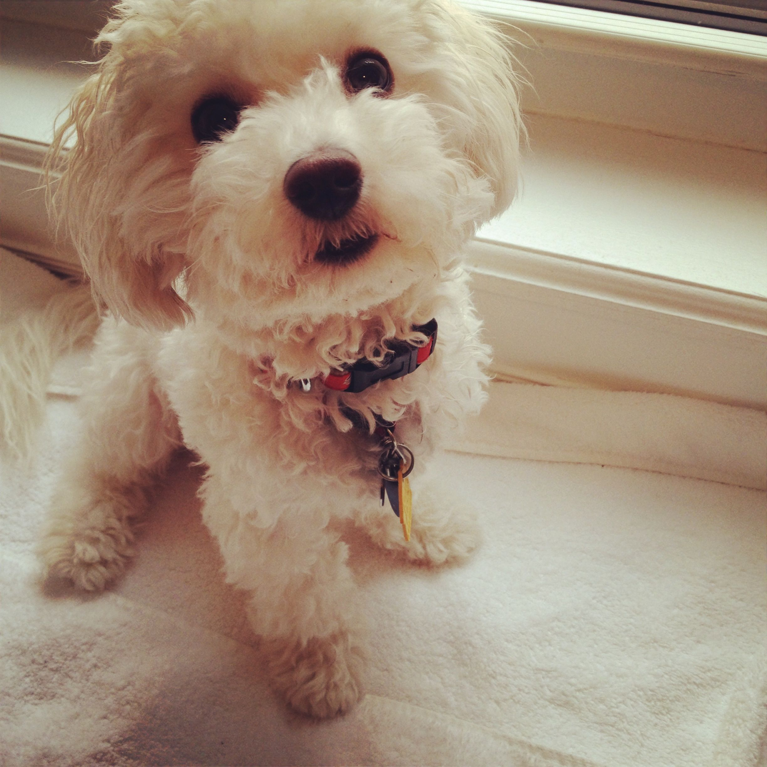 Jj The Bolonoodle In Nyc With Images Cute Puppies Puppies Pup