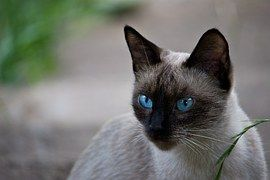 Thajská Mačka, Siamské Mačka