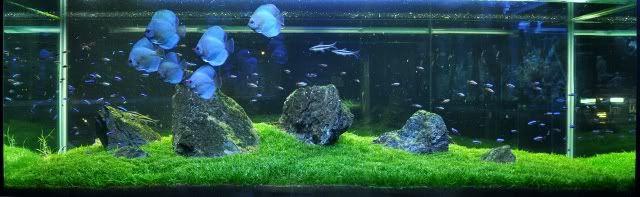 Ada Iwagumi Discus Tank Discus Tank Planted Aquarium Discus Aquarium